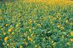 田园清蔬0028,田园清蔬,植物,黄花 田园 花地