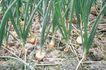 田园清蔬0031,田园清蔬,植物,香葱 种植 菜地