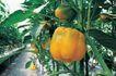 田园清蔬0032,田园清蔬,植物,农业 灯笼椒 绿叶