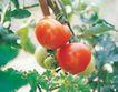 田园清蔬0035,田园清蔬,植物,红果 西红柿 蕃茄