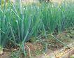 田园清蔬0037,田园清蔬,植物,土地 菜园 蒜苗