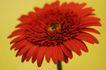 花卉无语0017,花卉无语,植物,红菊 盛开 诱惑
