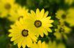 花卉无语0020,花卉无语,植物,菊花 淡黄 花卉