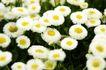 花卉无语0029,花卉无语,植物,小白菊 黄色花蕊 生物