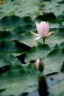 花卉无语0040,花卉无语,植物,莲花 荷叶 荷塘