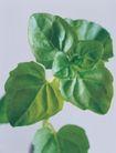 花草茶饮0033,花草茶饮,生活,绿叶 植物 青叶
