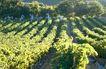 葡萄酒0017,葡萄酒,生活,阳光 倾泄 果园