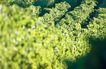 葡萄酒0019,葡萄酒,生活,山坡 种植 葡园