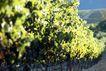 葡萄酒0020,葡萄酒,生活,葡萄 藤架 果林