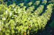 葡萄酒0022,葡萄酒,生活,茶树 绿色 树叶