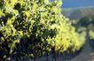 葡萄酒0027,葡萄酒,生活,鲜绿色 叶子 植物