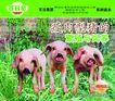 农业0027,农业,行业平面模板,瘦肉型猪 饲料 繁殖