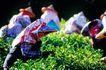 台湾生命力0002,台湾生命力,文化,采集 茶叶 低头