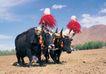 西藏风光0021,西藏风光,文化,牦牛 节日 庆祝