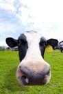 农场动物表情0001,农场动物表情,农业,奶牛 牛头 大鼻孔