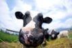 农场动物表情0002,农场动物表情,农业,吃草 耳朵 鼻孔