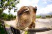农场动物表情0004,农场动物表情,农业,探出头 嘴巴 看一看
