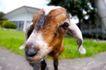 农场动物表情0007,农场动物表情,农业,房子 农场 动物