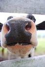 农场动物表情0010,农场动物表情,农业,鼻孔 嘴巴 我要吃东西