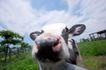 农场动物表情0013,农场动物表情,农业,牧场 饲养 牲畜