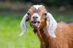 农场动物表情0014,农场动物表情,农业,长耳 绵羊 张嘴
