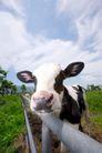 农场动物表情0019,农场动物表情,农业,栅栏 围住 奶牛