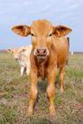 农场动物表情0029,农场动物表情,农业,小黄牛 养牛场 草地