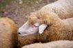 农场动物表情0031,农场动物表情,农业,