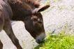 农场动物表情0041,农场动物表情,农业,水牛 绿草 吃草