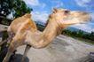 农场动物表情0043,农场动物表情,农业,太阳 骆驼 昂头