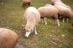 农场动物表情0053,农场动物表情,农业,羊圈 蓄牧业 养羊