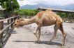 农场动物表情0056,农场动物表情,农业,骆驼 围栏 场地