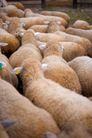 农场动物表情0063,农场动物表情,农业,农场 动物 表情