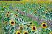向日葵太阳花