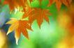 枫叶特写0028,枫叶特写,植物,秋季 枯黄 阳光