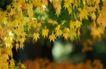 枫叶特写0043,枫叶特写,植物,黄色 星星 景色