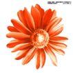瓷器花纹0018,瓷器花纹,实用分层素材,菊花特写 橘色菊花