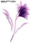 瓷器花纹0024,瓷器花纹,实用分层素材,芙蓉 水彩 紫色