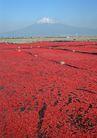 樱花与富士山