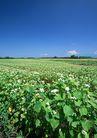 丰收写实0151,丰收写实,饮食水果,丰收季节 田里
