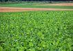丰收写实0153,丰收写实,饮食水果,绿色田野