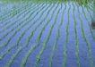丰收写实0157,丰收写实,饮食水果,稻田