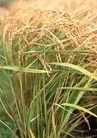 丰收写实0171,丰收写实,饮食水果,稻谷 收割 秋天