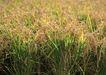 丰收写实0172,丰收写实,饮食水果,成熟 禾苗 秋季
