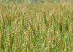 丰收写实0183,丰收写实,饮食水果,粮食 田野