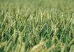 丰收写实0184,丰收写实,饮食水果,丰收 农作物