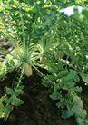 新鲜蔬菜0172,新鲜蔬菜,饮食水果,土壤 青翠 肥沃