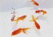 夏日清凉0163,夏日清凉,生活方式,几条金鱼