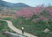 道路美景0174,道路美景,交通,桃树 桃子 桃花