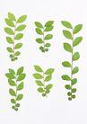 叶子和绿叶0175,叶子和绿叶,植物,一串串 5串串 很多